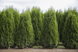 planting cedar hedge