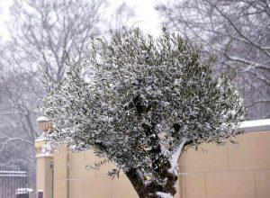 winter dieback