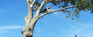 Tree_Experts_tree_trimming
